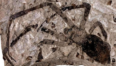 Biggest Fossil Spider discovered in Volcanic Ash