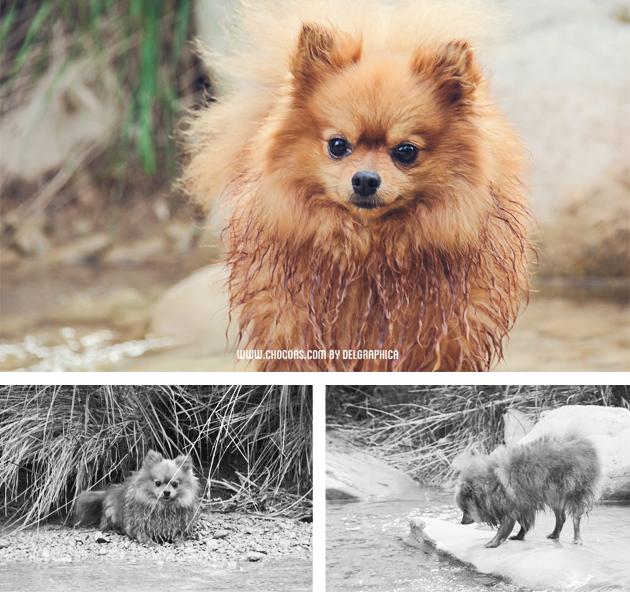 Pomerania - spitz enano