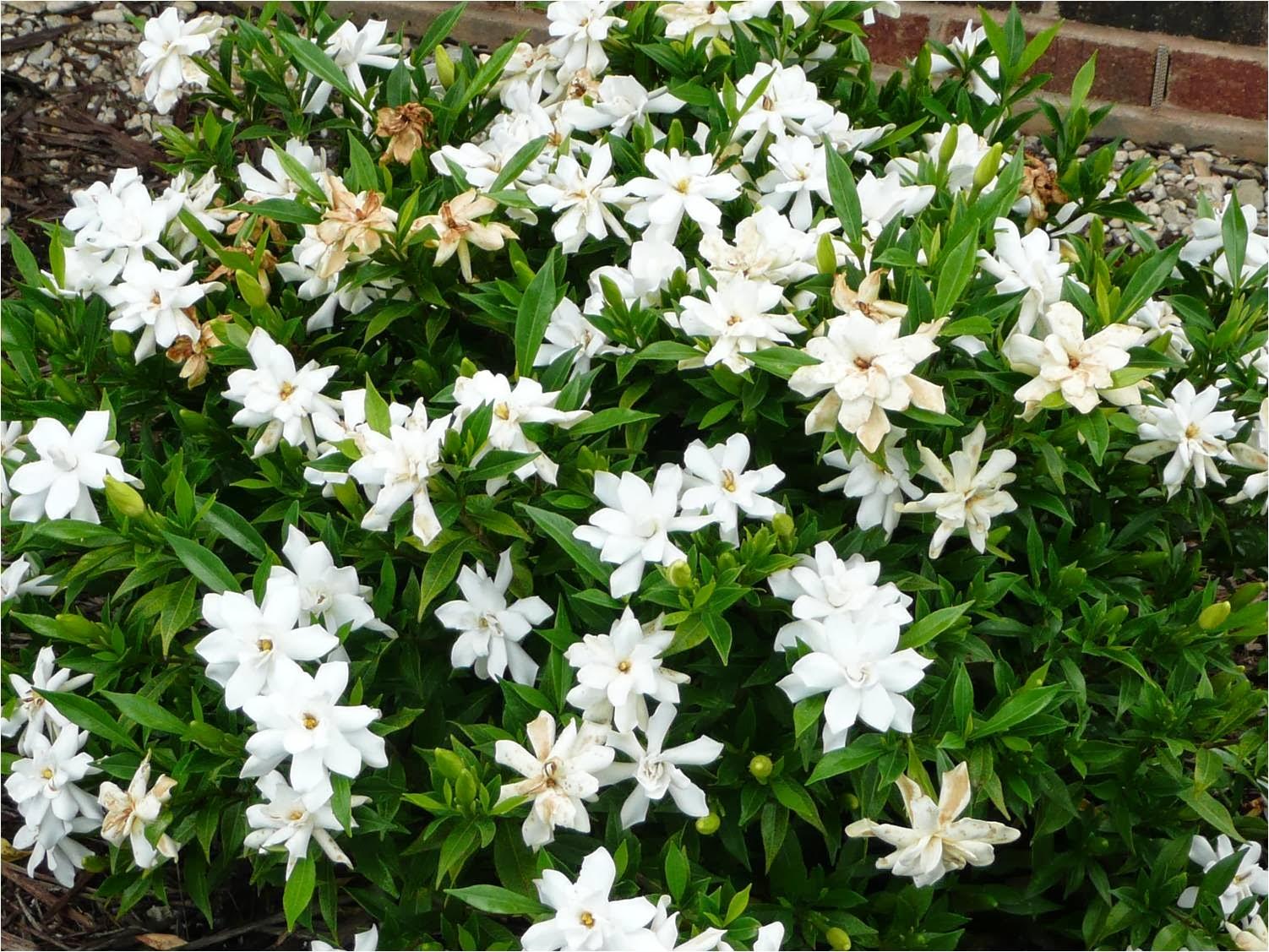 Romantic Flowers Gardenia Flower