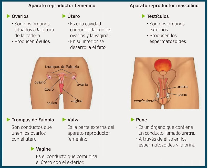 Mi clase educaTIC CONO: APARATOS REPRODUCTORES