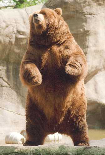 Brown bear - photo#14