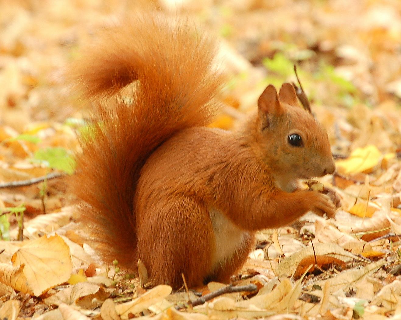 http://2.bp.blogspot.com/-O3wfESonMjY/T2NOcmQznFI/AAAAAAAAAWM/WOHVnvjMGYI/s1600/Red_Squirrel2.jpg