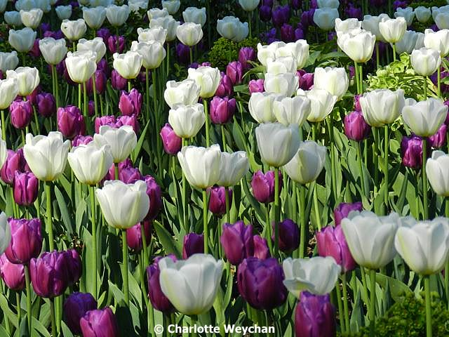 the galloping gardener catch uk tulip festivals as quick