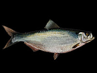 Hickory Shad Fish Pictures
