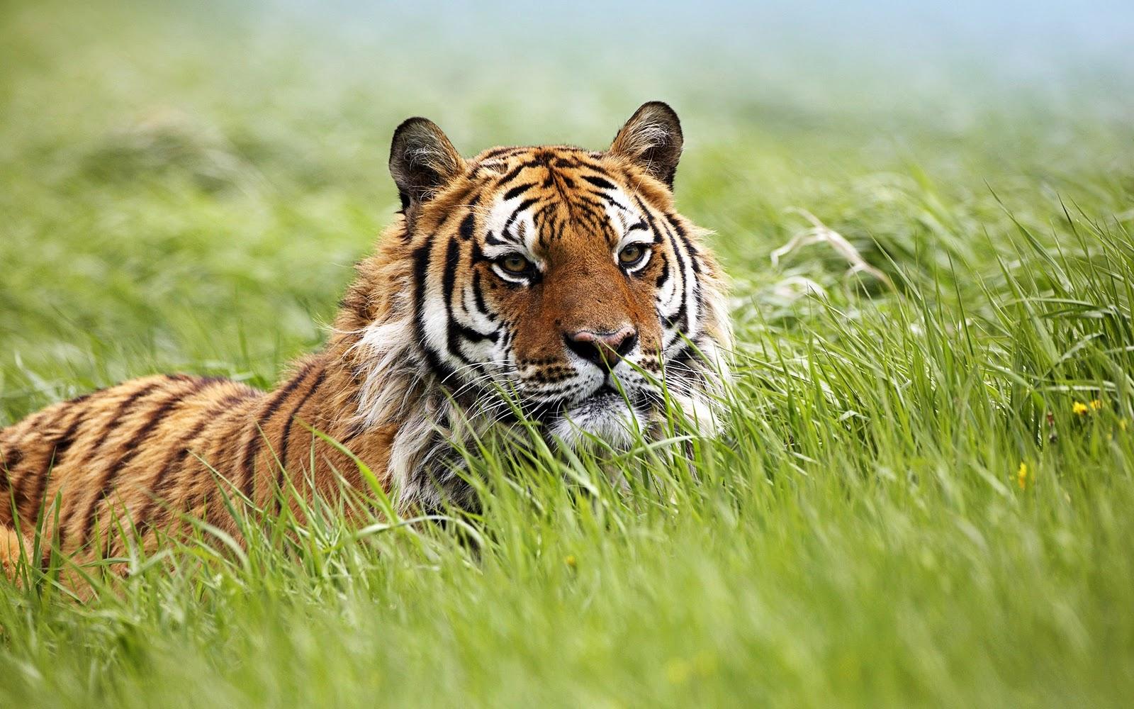 tiger wallpaper widescreen - photo #10
