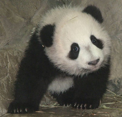 ANIMALS WALLPAPERS: Panda Cool facts and funny pictures of ...