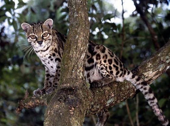 21 Jenis Kucing yang Sangat Rare