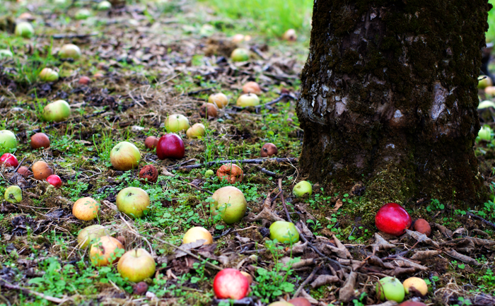 fallen red and green apples