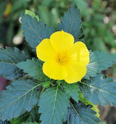 Flor amarilla - Yellow flower (Flores Silvestres)