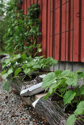 Muonamiehen mökki - Kurkun ja tomaatin kasvusäkkiviljelyä