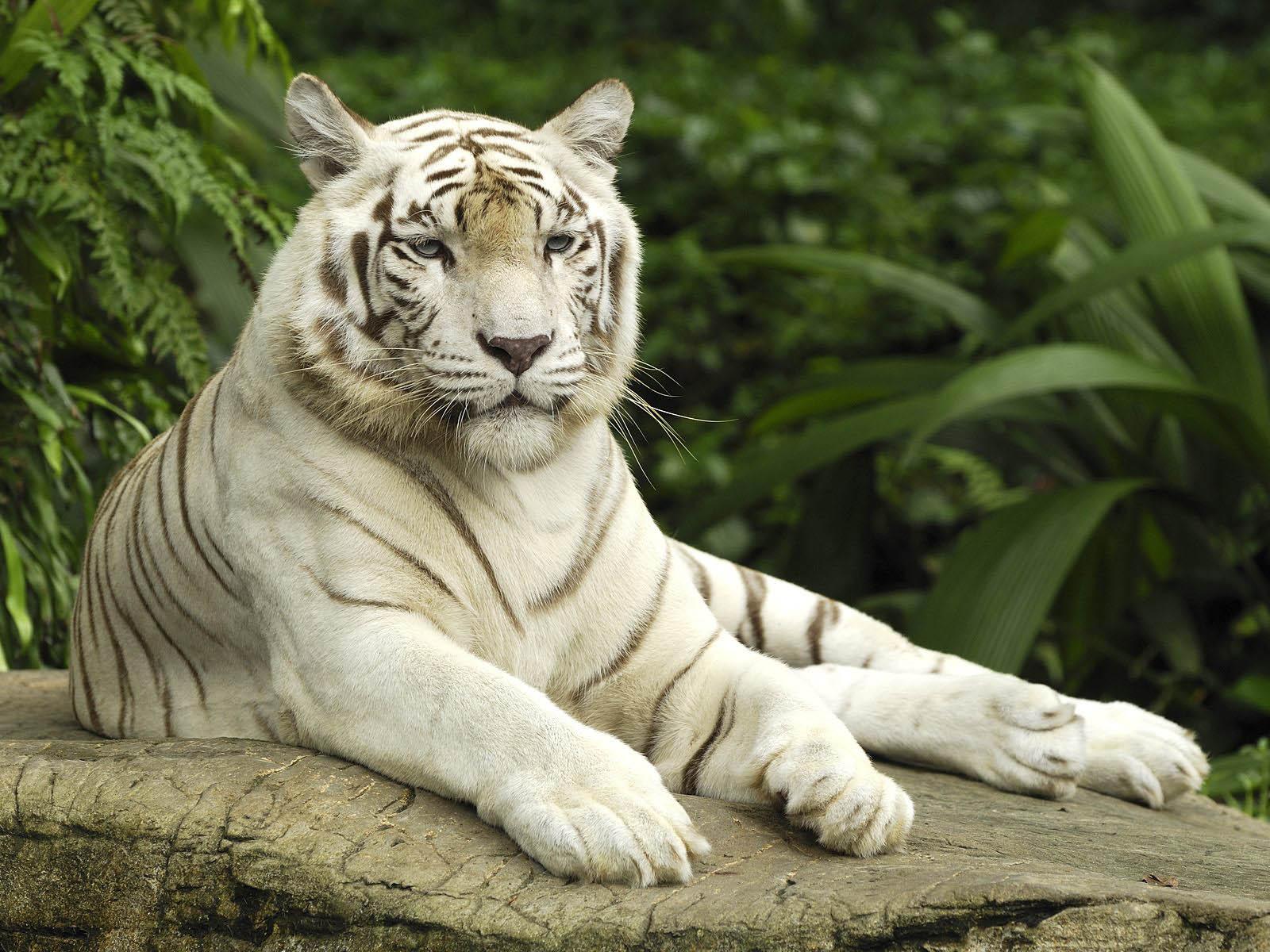 White Tiger Desktop Wallpapers