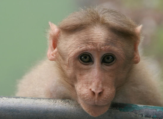 Funny Monkey Hairstyles 2012 | All Funny