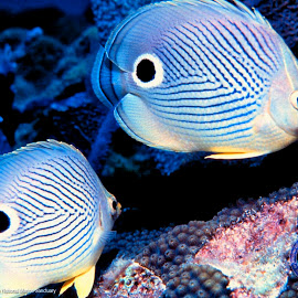 gambar Butterfly Fish Wallpaper vh301 jenis ikan hias air laut