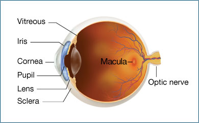 The veggie sleuth macular degeneration macular degeneration is an age related disease affecting those 50 and older that effects the retina of the eye specifically a small section called the ccuart Gallery