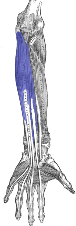 Flexor digitorum profundus muscle. Ventral view of the deep muscles of the forearm. FDP is shown in blue.