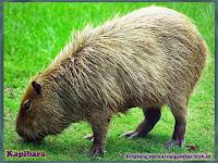 gambar kapibara