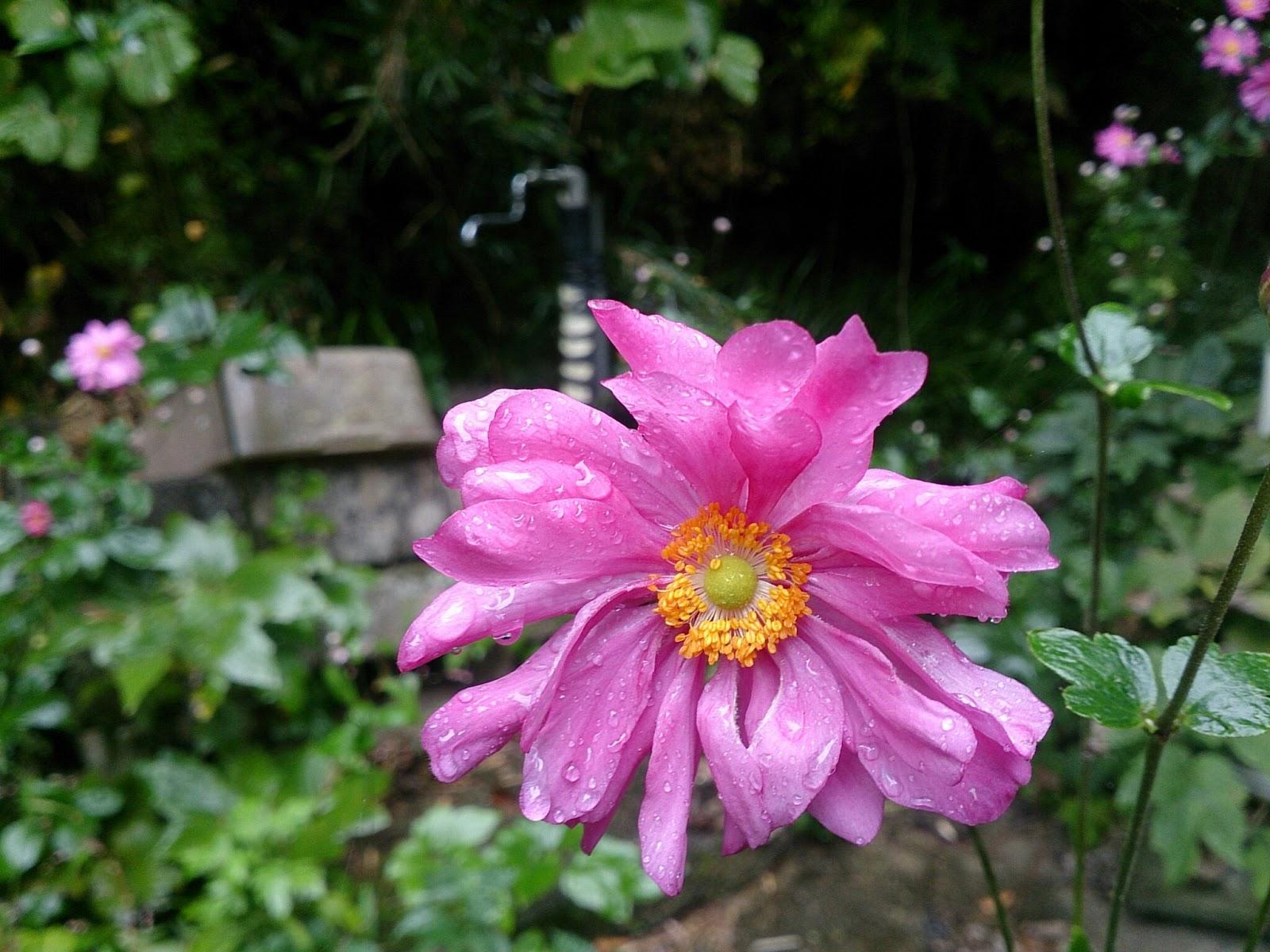 雨に濡れそぼる秋明菊