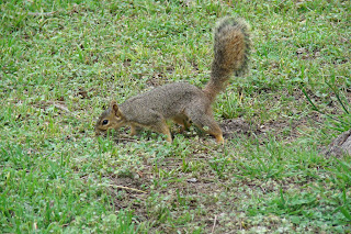 Squirrel investigates before he buries a nut