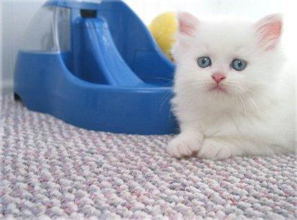 ... Tips Memelihara Kucing Kucing Persia Perawatan Kuci