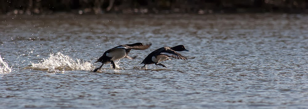 Tufted Ducks in flight