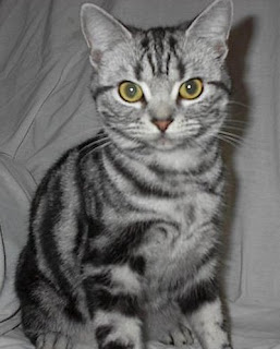 American Shorthair Cat Pictures