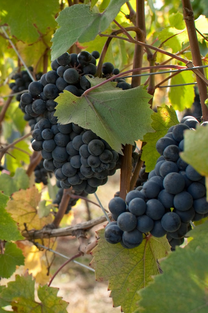 Dolcetto grape from Piedmont