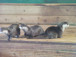 three otters in captivity