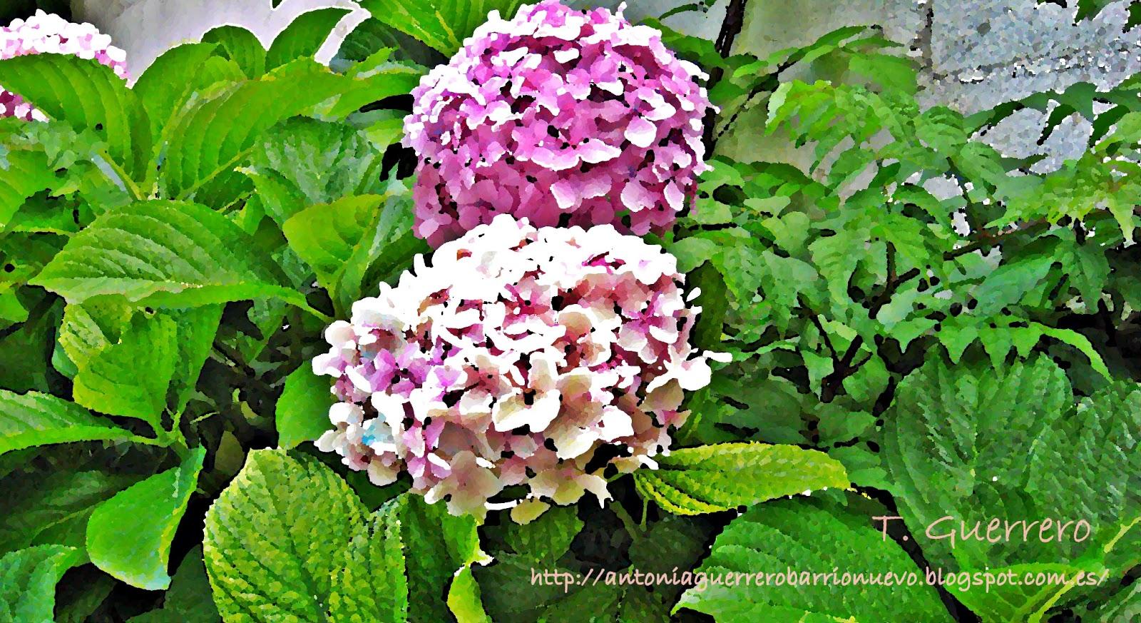 El blog de to i guerrero barrionuevo hortensias para - Como cuidar una hortensia de exterior ...