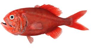 Ikan Orange Roughy