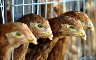 Gà được nuôi ở một trang trại ở Đồng Nai.