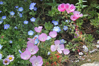 baby blue-eyes, with Monterey Clarkia