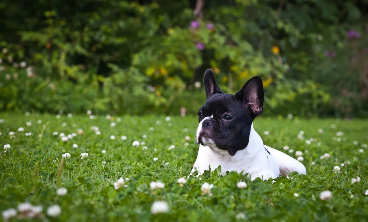 ALL HD IMAGES: French Bulldog HD Wallpapers