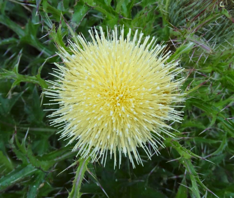 H Town West Photo Blog Yellow Bull Thistle