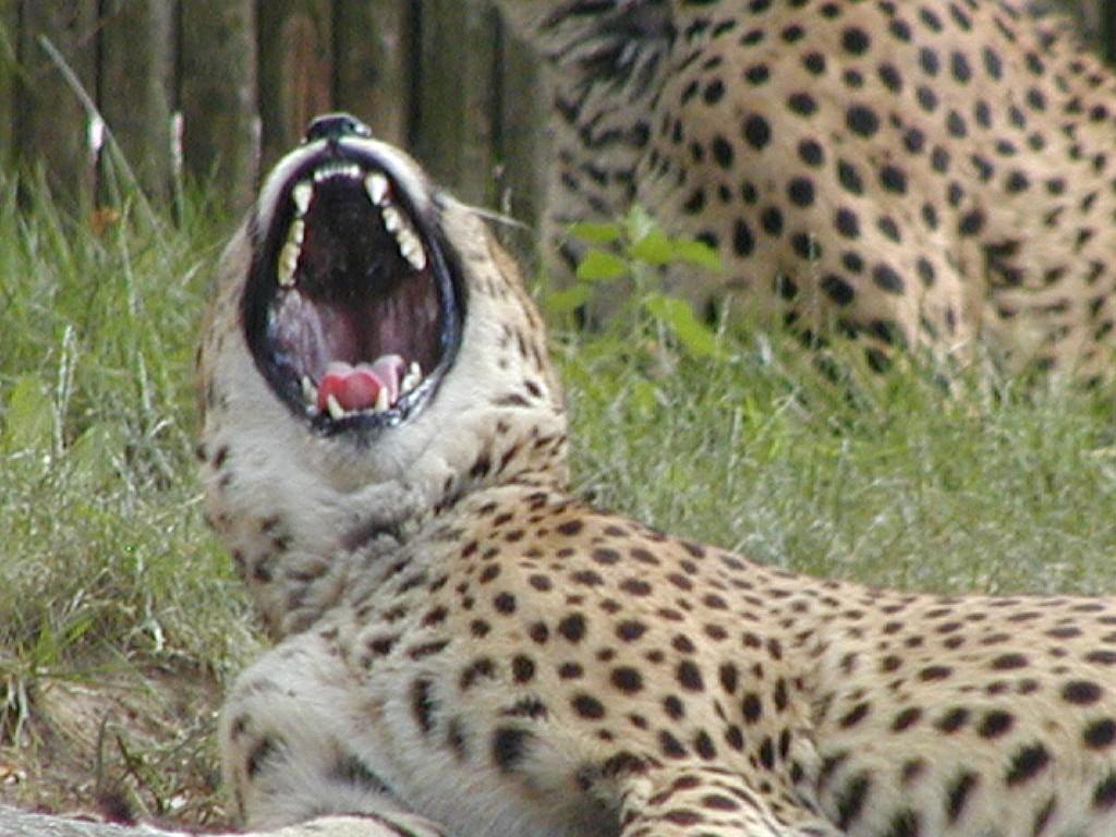 angry baby cheetah - photo #15
