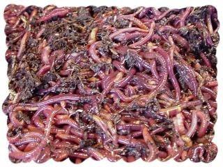 cara ternak/budidaya cacing tanah