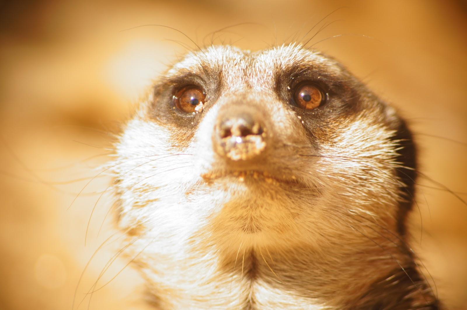 meerkat online downloadable free photo