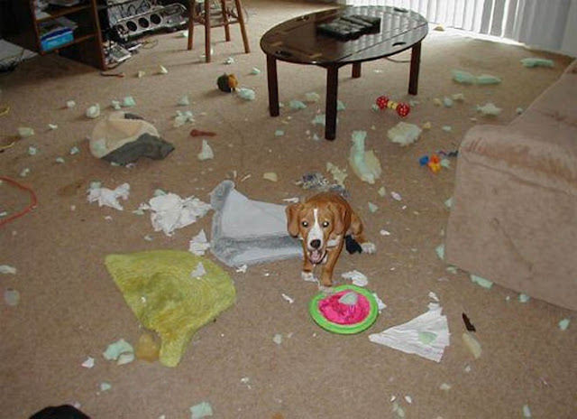 Funny pets behaving badly 11