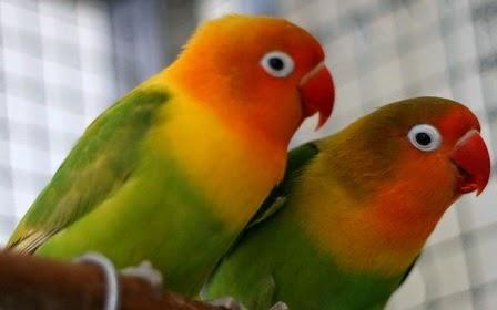Foto Burung Love Bird Cara Merawat Burung Kicau Terbaru