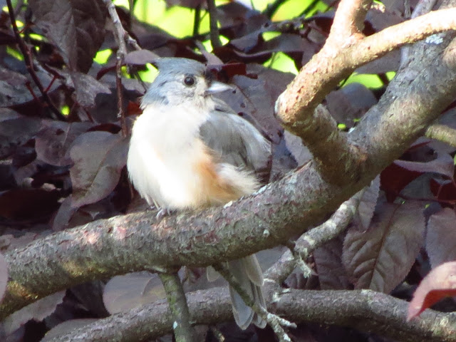 tufted titmouse final view