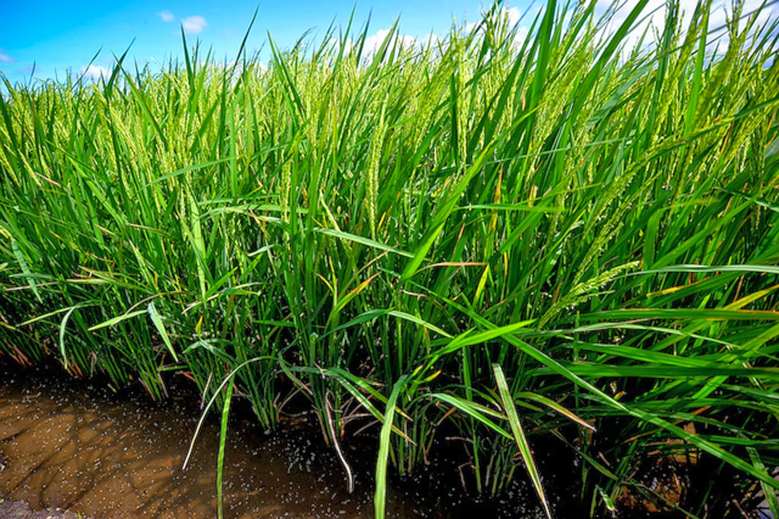 golden rice 9 how does it work the addition of 2 genes in the rice genome will complete the biosynthetic pathway 1 phytoene synthase (psy) derived from daffodils.