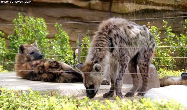 Hienas en el parque de atracciones Everland de Seúl
