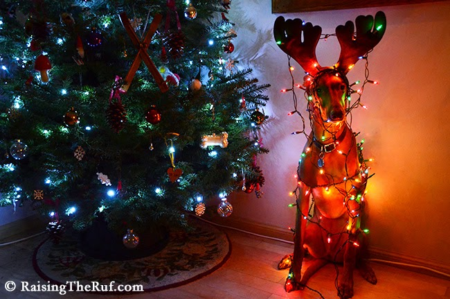12 Days Of Christmas Dog Raising The Ruf Pharaoh Hound Rufus