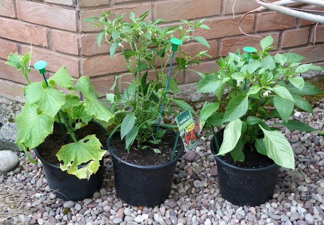 Sweet pepper, chilli and baby cucumber plants