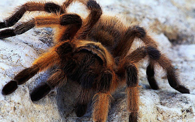 Best top desktop spider wallpapers hd spider pictures images photos 1.jpg