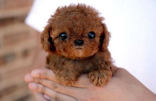 Mini Chewbacca