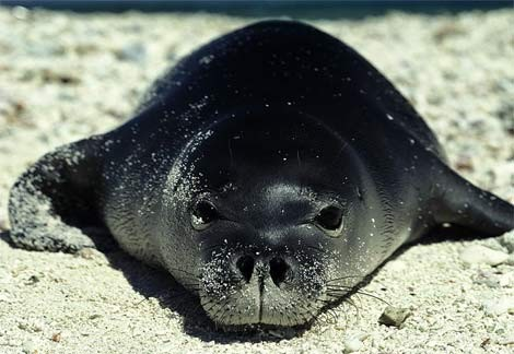 Most Amazing Recently Extinct Animals Caribbean Monk Seal
