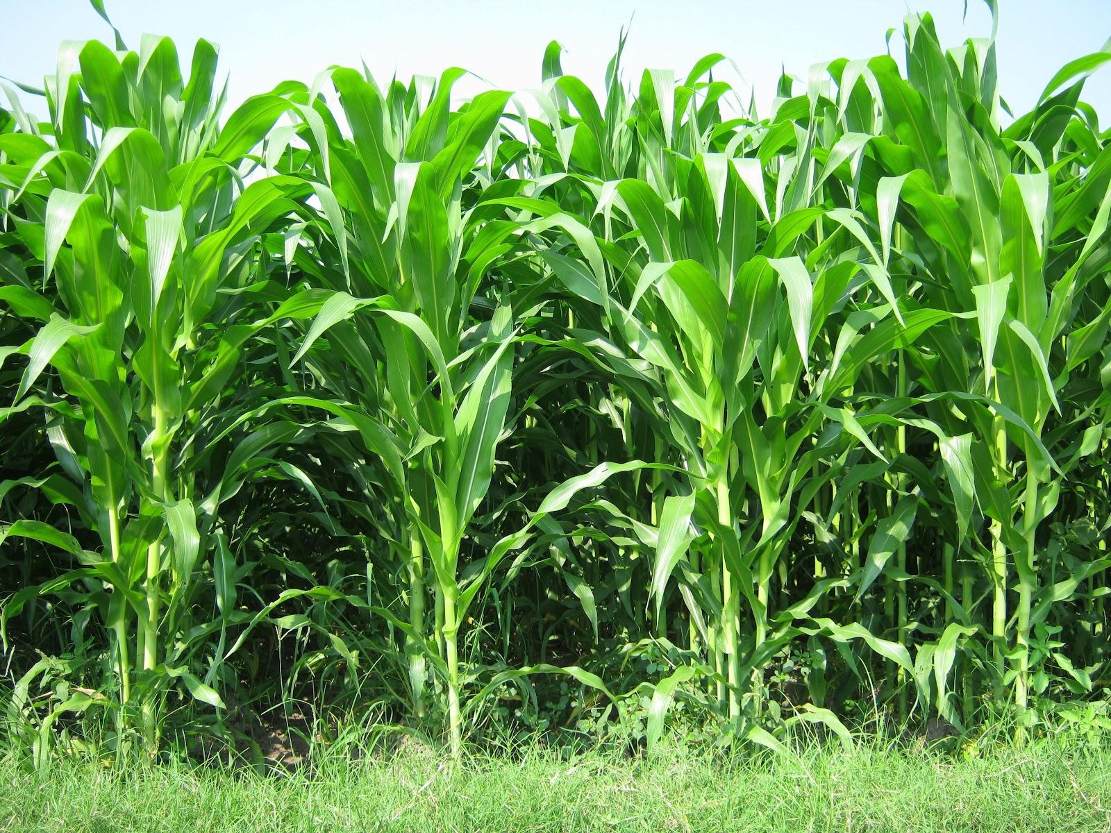 gambar jagung wallpaper lapangan vektor musim panas foto langit d u0027honestfarm update jagung