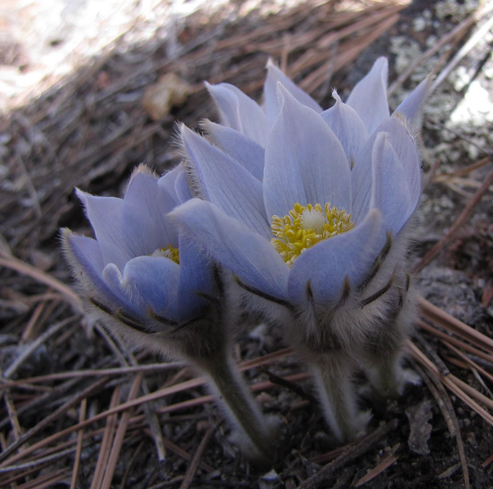 Цветы тундры фото и названия