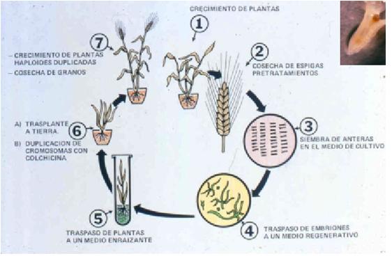 Curso cultivo de tejidos vegetales obtencion y cultivo de for Que son cultivos asociados