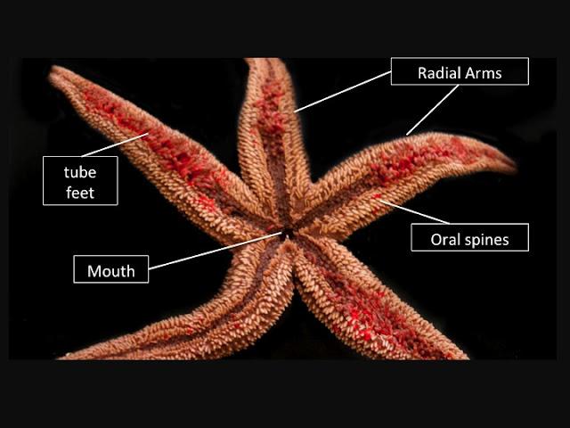 Star fish anatomy